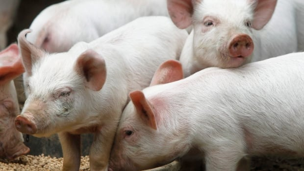 Piglets are much more susceptible to the porcine epidemic diarrhea virus than more mature pigs.
