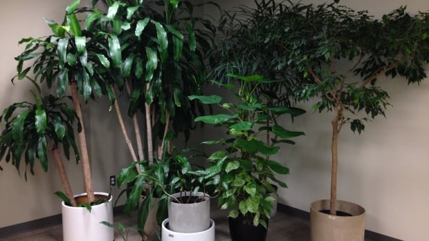 These plants, in hiding in the Office of the Leader of the Opposition, may be on the auction block soon, according to a memo sent to House of Commons staff Thursday.