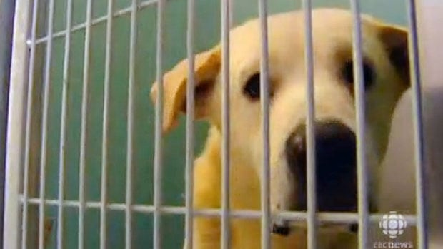 One 64 dogs that were seized from a property in Gull Lake, Man., in 2010 looks on from a kennel at the Winnipeg Humane Society following the rescue.