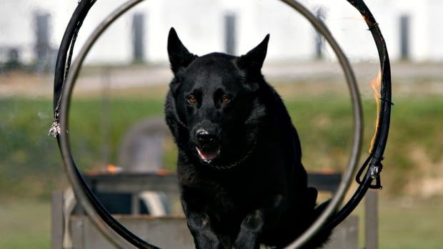 Croatian military dogs, like the one pictured, have served in NATO-led peacekeeping mission in Afghanistan for years. The Taliban claims to have captured a NATO military dog, not the one pictured, about a month ago.