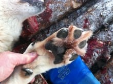 Paw of wolf-like animal shot near Port Blandford on Feb. 5, 2014