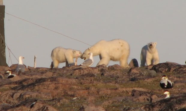 Polar Bears on East Bay Island