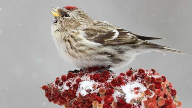 From Feb 14 to 17, scientists and citizens around the world will join forces for the Great Backyard Bird Count. This photo of a Common Redpoll was captured by Missy Mandel, a participant in the annual count.