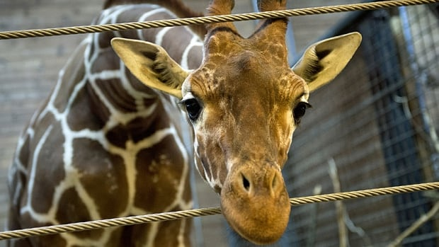 Marius the giraffe peers through the ropes at the Copenhagen Zoo on Feb. 7, 2014, two days before the healthy two-year-old animal was killed in an action the zoo said was necessary to counter inbreeding.