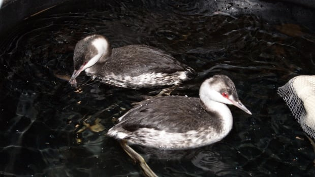 Horned grebes are seen recovering at the Toronto Wildlife Centre. Grebes are having a difficult time coping during this winter.