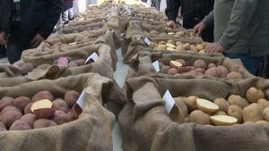 New potato varieties