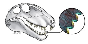 Dimetrodon teeth