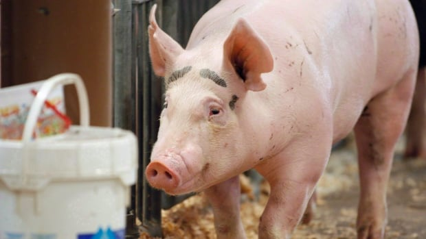 A national agency is reporting the first suspected case of a deadly pig virus in Prince Edward Island.