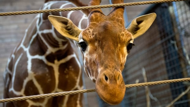 Marius the giraffe, seen here at the Copenhagen Zoo on Feb. 7, was shot and fed to lions -- an action the zoo said was in line with anti-inbreeding rules meant to ensure a healthy giraffe population.  The Jyllands Park Zoo in Western Denmark says it has no plans to kill one of its giraffes, also named Marius.
