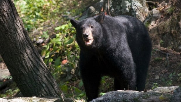 After years of controversy over the cancellation of the Spring Bear Hunt in 1999, a limited hunt starts today.