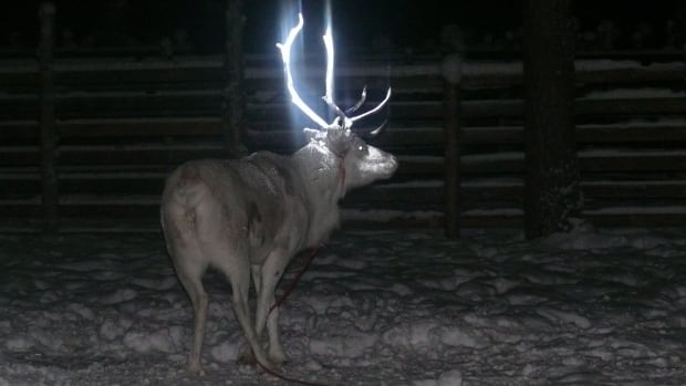 The antlers of 20 reindeer have been painted with various fluorescent dyes to see how the animals react and whether the paints are resistant to the harsh Arctic climate.