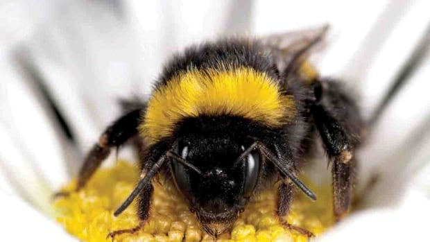 Bees usually come back to the hive with more and more pollen as they become more experienced foragers, but that isn't the case for bees exposed to neonicotinoid pesticides.