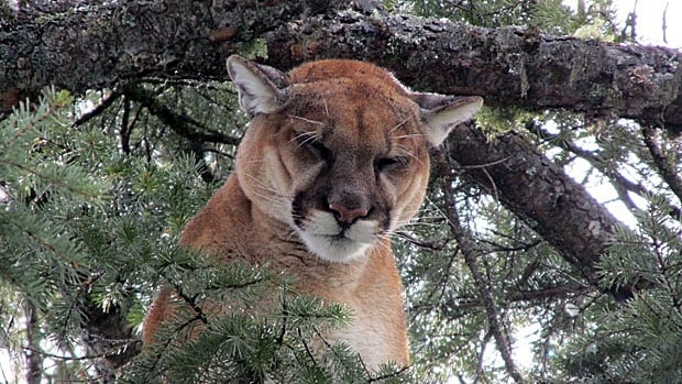 This adult female cougar was treed and collared after her four young were shot and killed by conservation officers near a school in Cranbrook, B.C.