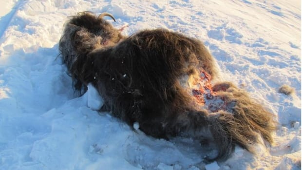 The Northwest Territories' Department of Environment and Natural Resources is asking for the public's help to solve a case of meat wastage, after photos emerged of a muskox carcass about 3 km outside of Sachs Harbour, with only the legs and back straps taken, and the carcass and fur left to rot in the snow.