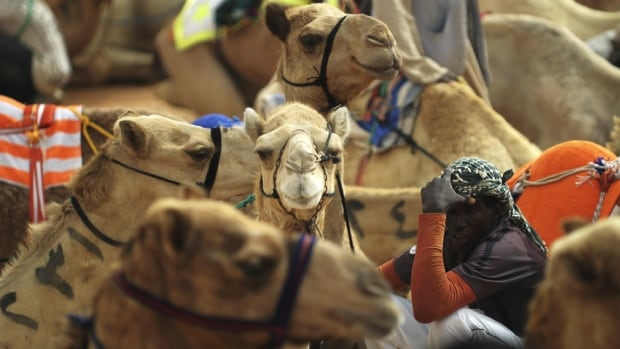 A new study suggests it's very plausible that camels are infecting humans with MERS, though how that might be happening isn't known.