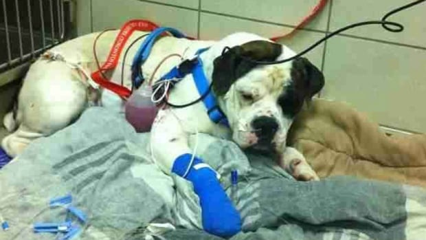 Tonka, an 11-month-old bulldog, was wounded Saturday night by an unknown projectile.