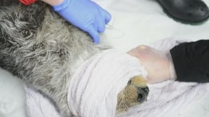 Otter rescued