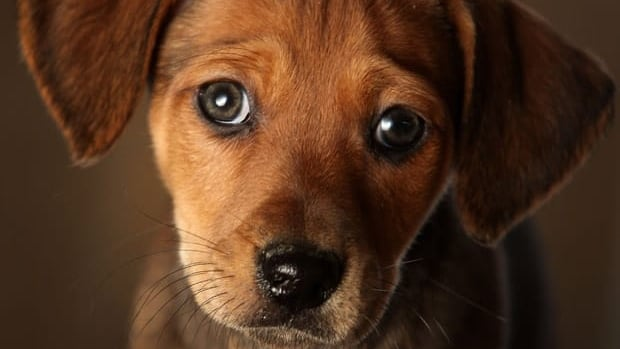 A 2009 study showed dogs displayed a guilty look — head cowered, ears back, eyes droopy — most often appeared in reaction to scolding, whether or not the dog had misbehaved or not.