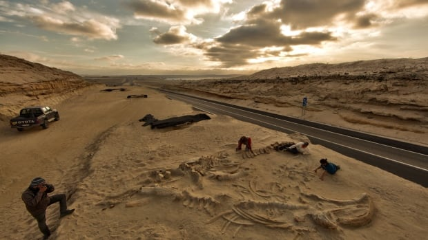 About 40 fossil whale skeletons were discovered at Cerro Ballena, next to the Pan-American Highway in the Atacama region of Chile, when the highway was being expanded.
