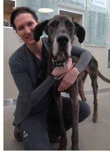 charlie great dane starved dog gains weight