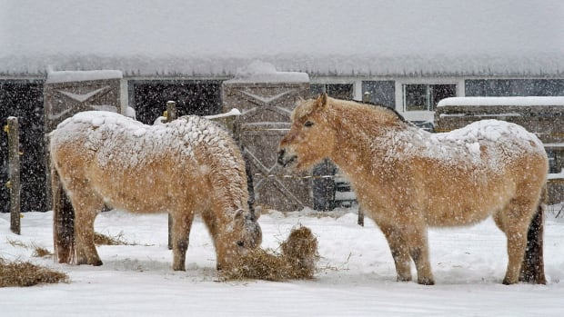 Horses munch on hay during a winter storm in Cow Bay, N.S. on Wednesday, Jan. 29, 2014.