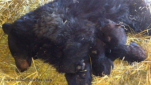 The mother bear and her cubs are pictured above in their new specially designed bear den in Smithers, B.C.