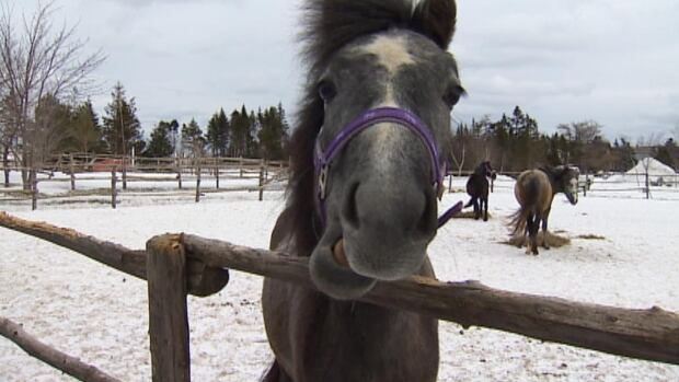 The Newfoundland Pony Society is recommending that the provincial government not transfer control of the animals to federal legislation.