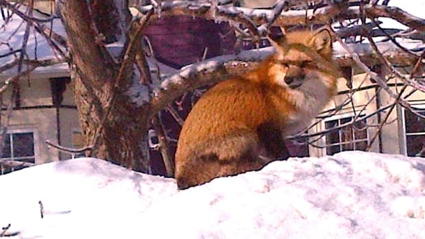 Fox on a snowbank in a Charlottetown neighbourhood.