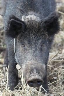 Northwest Feral Pigs