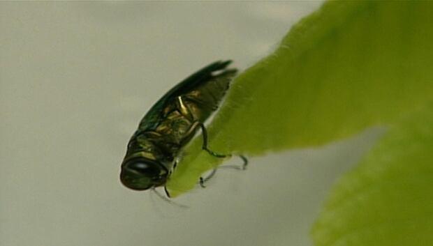 emerald-ash-beetle