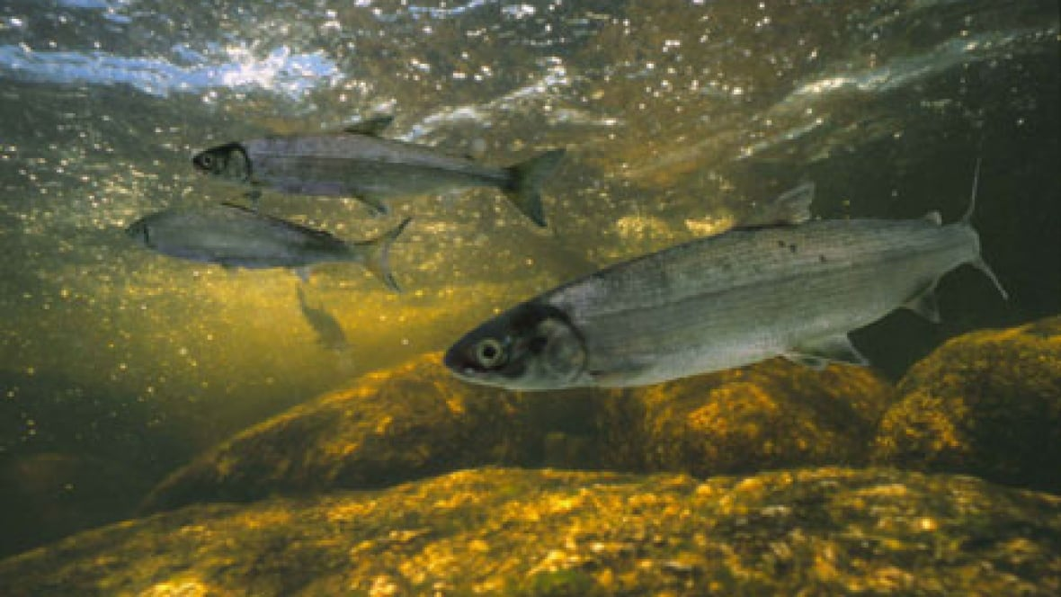 Endangered atlantic whitefish faces new threat nova for Atlantic game fish
