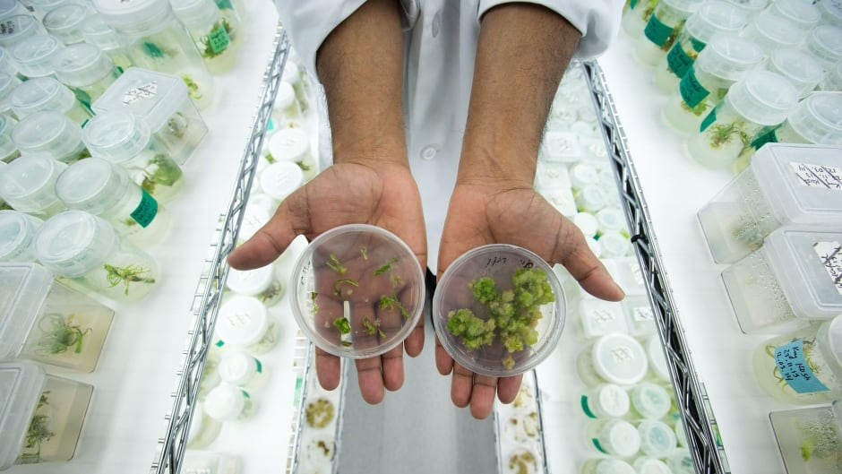 MediJean lab manager Abdul Ahad displays marijuana leaf tissue, left, and plant callus, right, which a plant would grow from, in the research and tissue culture development lab at the medical marijuana facility in Richmond, B.C.