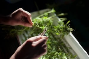 Medical Marijuana 20131008