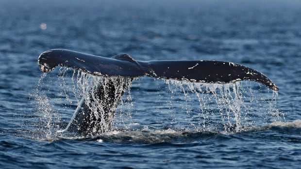 Humpbacks are one of the many species of whale found in the waters of the Gulf of St. Lawrence.