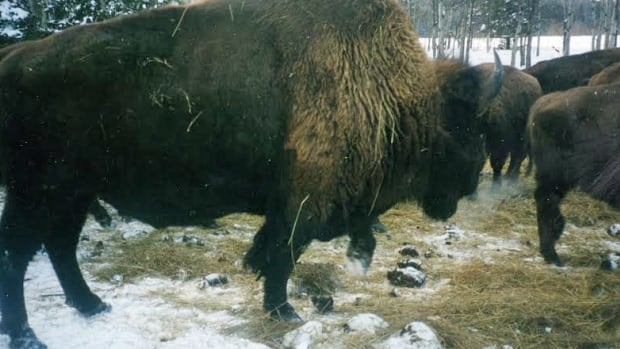 More than 100 bison roam about 400 hectares of land owned by the Anderson family in Dryden.