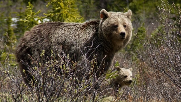 Provincial biologists estimate there are up to 15,000 grizzly bears in B.C. — about a quarter of the North American population.
