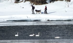 Swans on Teslin River