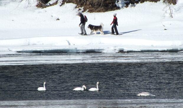 Swans on Teslin River