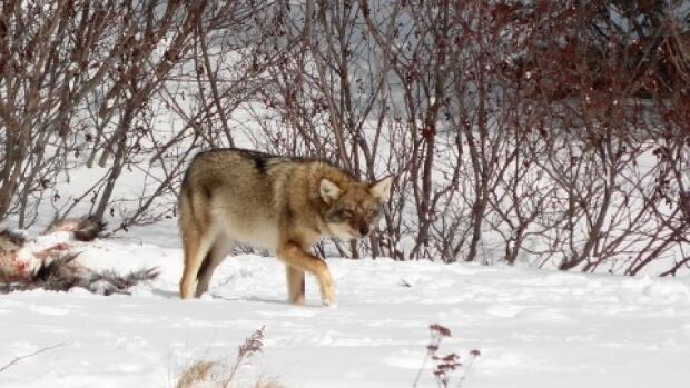 Coyote at Gros Morne Park near Southeast Brook taken by Harrison Barney.