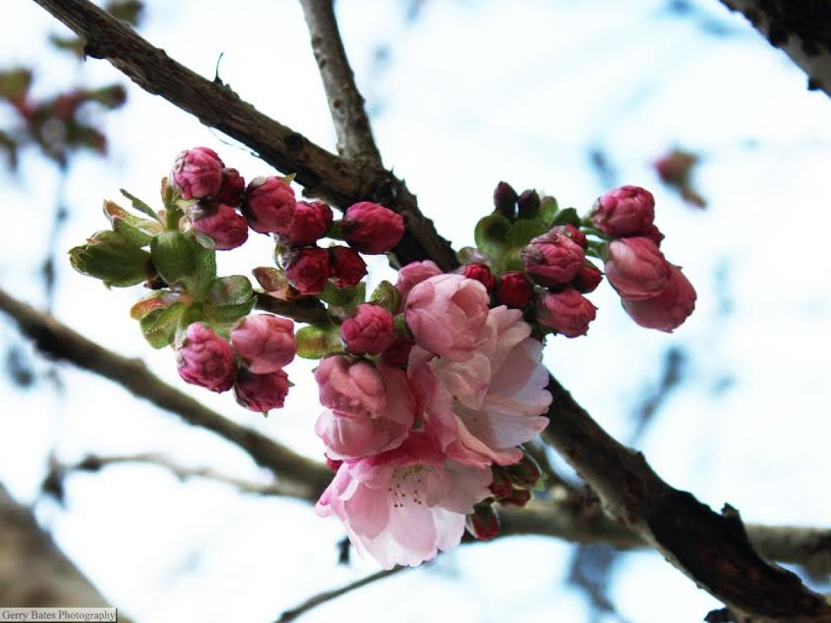 8 Ways To Tell A Cherry Blossom From A Plum Blossom Cbc News
