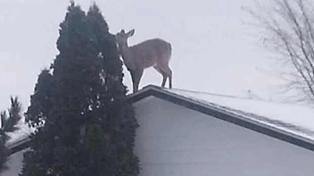 The snowbanks are so high in Kenora that this deer got up on the roof.