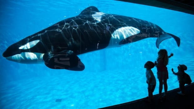 SeaWorld is ending its orca-breeding program.
