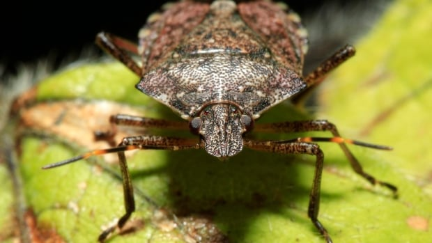 A brown marmorated stink bug, an invasive pest that damages fruit and vegetable crops, was found in the Penticton area this fall.