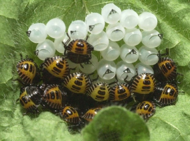 Brown Marmorated Stink Bug Hatched Egg Mass