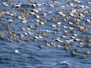 Eider ducks at Cape Spear
