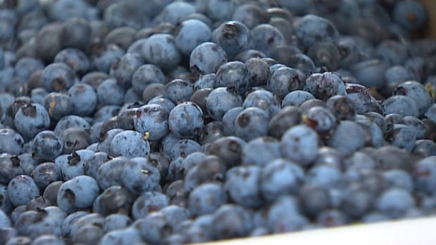 Growers say they're frustrated and discouraged by the continued low price of blueberries.