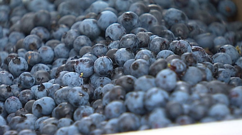 6c4dad37df0 Peter Rideout says the low price of blueberries could force some smaller  landowners to sell their blueberry properties. (CBC)