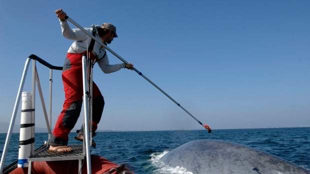 A researcher with the SOCAL-BRS project tags a blue whale off the coast of Southern California, as part of a study on how blue whale feeding patterns are affected by humans.