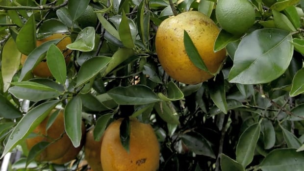 The Florida orange crop declined by 18 per cent this year and that could mean higher juice prices.