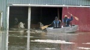 Cow rescue